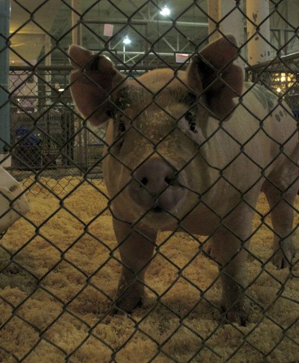 anewman-state-fair-pig